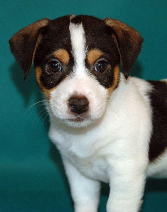 Bardzo dobra Hodowla Jack Russell Terrier-hodowla-Seter Irlandzki-Warszawa-Duma DH16
